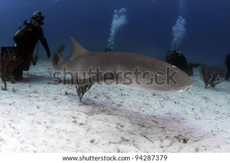 A small nurse shark swimimg over the white sands of the Bahamas - stock photo