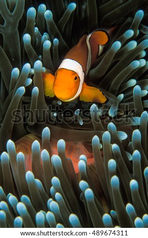 Nemo fish stock images royalty free images vectors for Nemo light fish