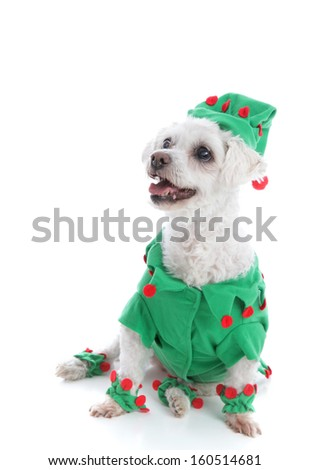 A small pet dog wears a green with red pom poms jacket and hat and is looking up with anticipation.  White background.