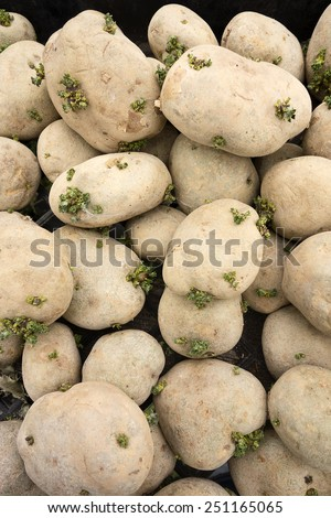 A small pile of spud potatoes that are slowly going to seed as sprouts grow from the skins. - stock photo