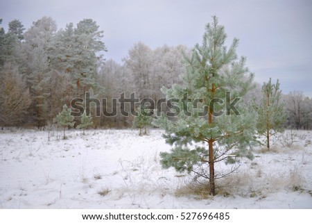 A small pine forest in winter