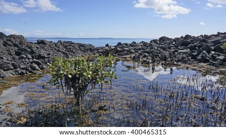 A small plant growing out of the volcanic rock on the small volcanic island of Rangitoto in New Zealand.  - stock photo