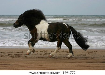 A small pony galopping on the beach