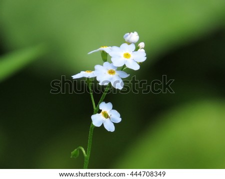 a small pretty flower, forget-me-not in nagano, Japan - stock photo