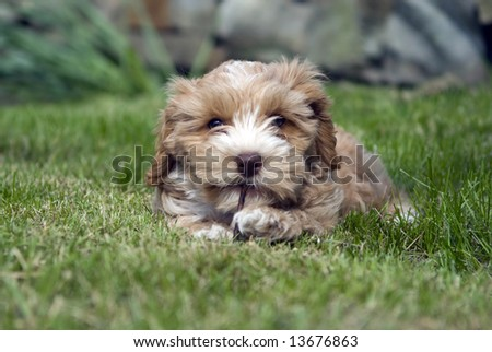 A small puppy chewing on a stick - stock photo