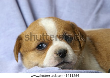 A small puppy relaxes on a blue background.