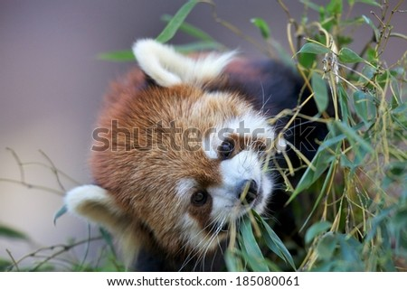 A small red panda hanging around in a grassy area. - stock photo