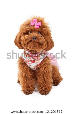 A small red poodle dog wearing a pink outfit and pearl and rhinestone collars sitting against a white background - stock photo