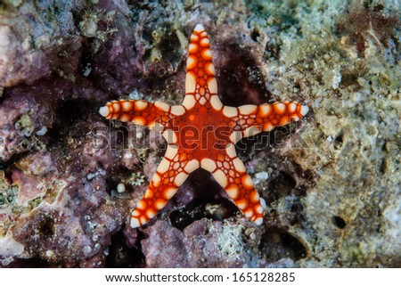 A small, red seastar (Fromia sp.) clings to coralline algae on a coral reef in the tropical western Pacific Ocean. This region is known for its high marine biological diversity. - stock photo