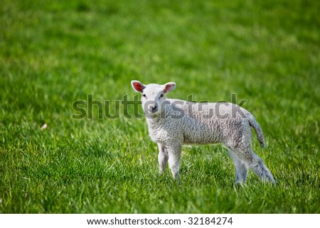 A small spring lamb isolated on green grass