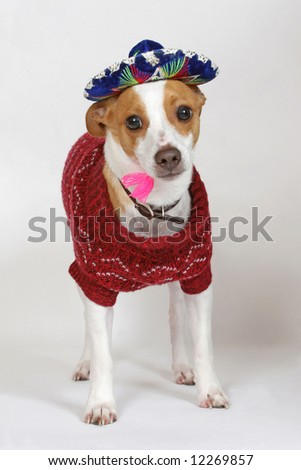 A small terrier wearing a Mexican sombrero and sweater. - stock photo