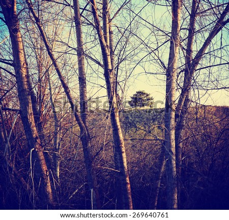 a small tree on a hill framed between large white aspen trees in front toned with a retro vintage instagram filter effect app or action  - stock photo