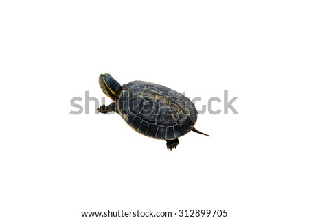 A small turtle isolated on a white background. - stock photo