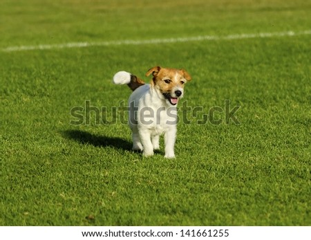 A small white and tan Jack Russell Terrier dog walking on the grass, looking very happy. It known for being confident, highly intelligent and faithful, and views life as a great adventure. - stock photo