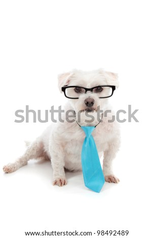A small white dog looking through black rim glasses with a serious concentrated attentive look. White background.