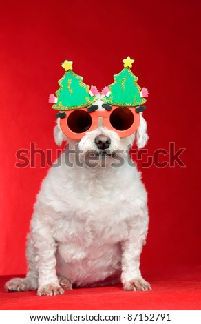 A small white pet dog wearing humorous Christmas glasses.  Red background.