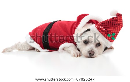 A small whtie dog wearing a santa costume for Christmas.   White background. - stock photo