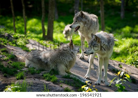 A small wolf pack with three wolves gathered on rocks in a Canadian forest in the foreground and one wolf approaching in the distance. - stock photo