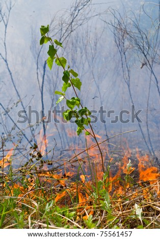 A small young birch on way of the forest fire. - stock photo