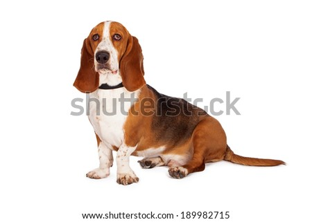 A smart Basset Hound dog sitting pretty - stock photo