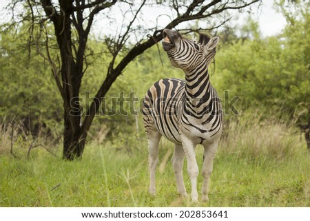 A Smiling Burchell's Zebra (Similar to the 'Plains Zebra') Standing in its Natural Bushveld Habitat during the Summer in the Kruger National Park in South Africa. - stock photo