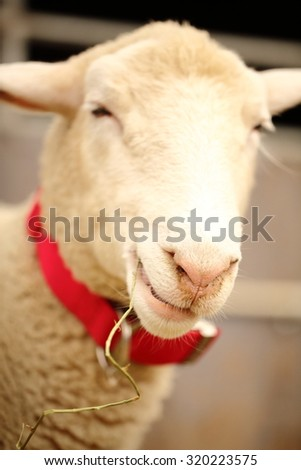 A smiling, cute and beautiful sheep chewing on a straw. soft-focused. - stock photo