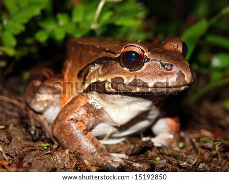 A Smoky Jungle Frog in Costa Rica - stock photo