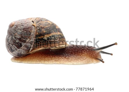 A Snail from a UK garden isolated on a white background. - stock photo