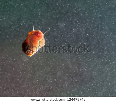 A snail on a glass surface in aquarium. - stock photo