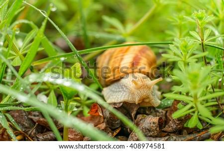 A snail on a walk through the grass, after a spring rain. - stock photo