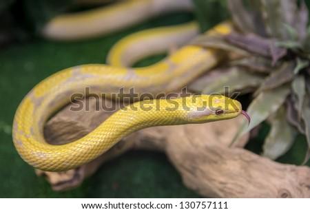 A snake at a terrarium in a zoo, orthriophis taeniurus albino - stock photo