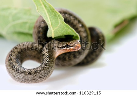 A snake coiled on a leaf on a white surface