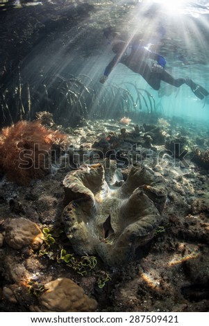 A snorkeler swims above a giant clam (Tridacna gigas) on the edge of a mangrove forest in Raja Ampat, Indonesia. This area harbors some of the Coral Triangle's most healthy marine habitats. - stock photo