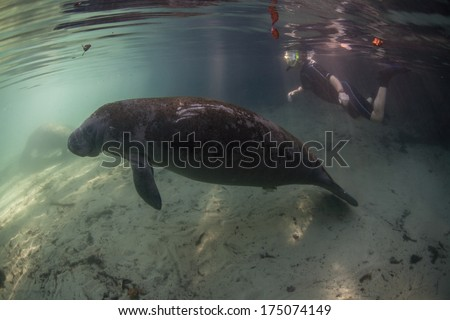 A snorkeler watches a Florida manatee (Trichechus manatus latirostris) rise from the shallow bottom of a freshwater spring in Florida in order to breathe. This animal is endangered. - stock photo