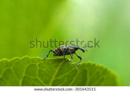 a snout beetle on leaf - stock photo
