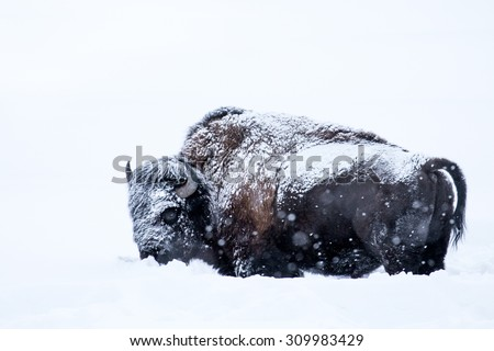 a snow-covered bison stands belly-deep in the snow against a pure white background - stock photo