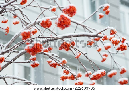 A snow-covered branch of a mountain ash on a background of city house - stock photo
