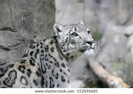 A Snow Leopard in a zoo in front of a rock wall - stock photo