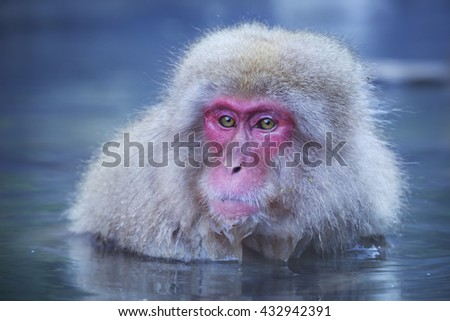 A snow monkey (Japanese macaque) sitting in the hot springs.
