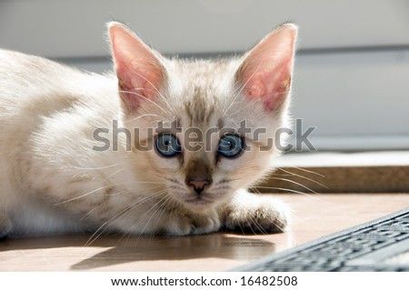 A snowy bengal kitten playing on the floor - stock photo