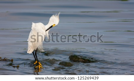 A Snowy Egret, Egretta thula, standing on a rock surrounded by water - stock photo