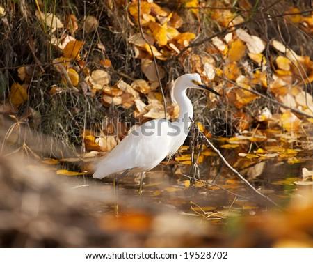 A Snowy Egret (Egretta thula) wading in a stream in autumn. - stock photo