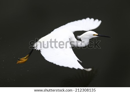 A snowy egret in flight.