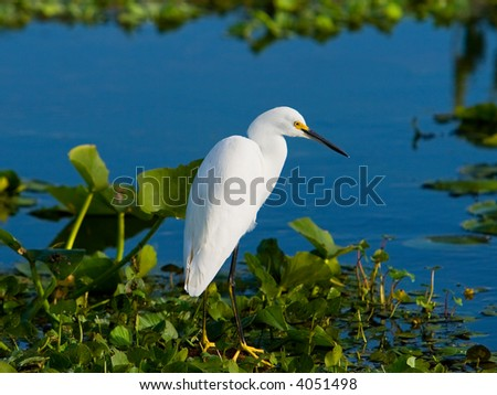 A Snowy Egret Wading In A Marsh - stock photo