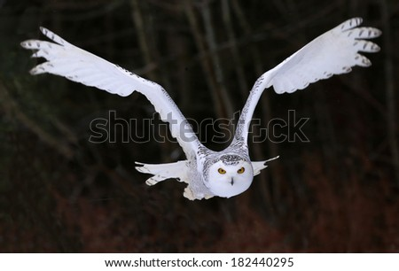A Snowy Owl (Bubo scandiacus) flying right at the camera.  - stock photo