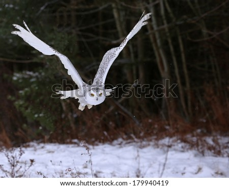 A Snowy Owl (Bubo scandiacus) gliding over a snowy field with trees in the background.  - stock photo
