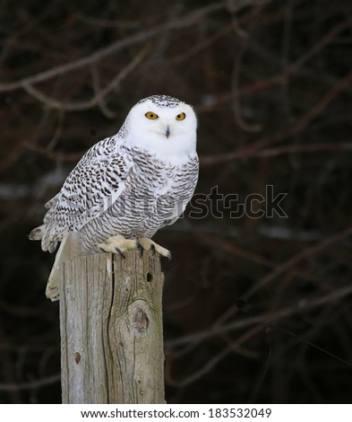 A Snowy Owl (Bubo scandiacus) sitting on a post.  - stock photo