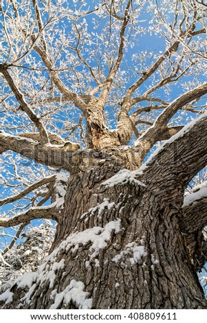 A snowy winter scene looking up at tall and old Oak tree covered with fresh snow against a pretty blue sky. - stock photo