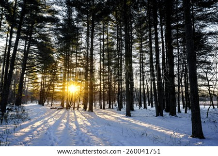 A snowy winter sunrise scene in a pine forest.