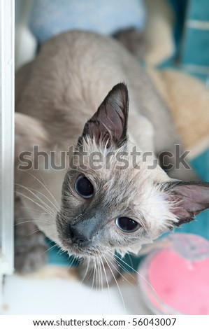 A soaking wet siamse cat taking a bath in the bathtub. - stock photo